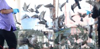 FIGHT OR FLIGHT: Pigeons make a flap at Wat Bukkhalo on Friday in Bangkok. Photo: Matichon
