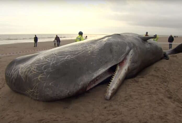 A sperm whale beached in 2016 in Skegness, England. Image: ODN / YouTube