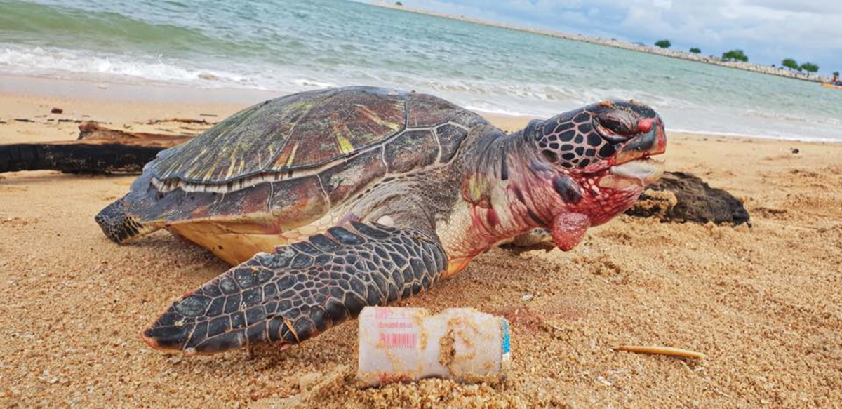 A bloated, dead sea turtle found in Sattahip by the navy in September 2018. The turtle died from eating too much plastic. Photo: Royal Thai Navy Sea Turtle Conservation Center / Facebook